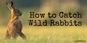 How to Catch Wild Rabbits